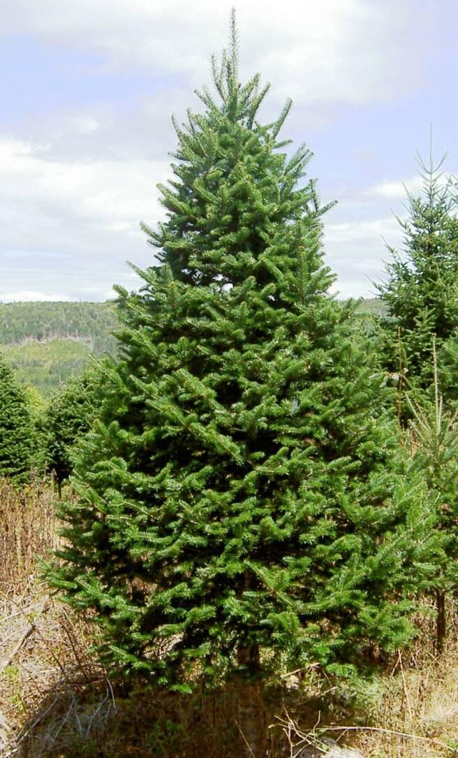 Pinos navidad variedades for Tipos de pinos para jardin fotos