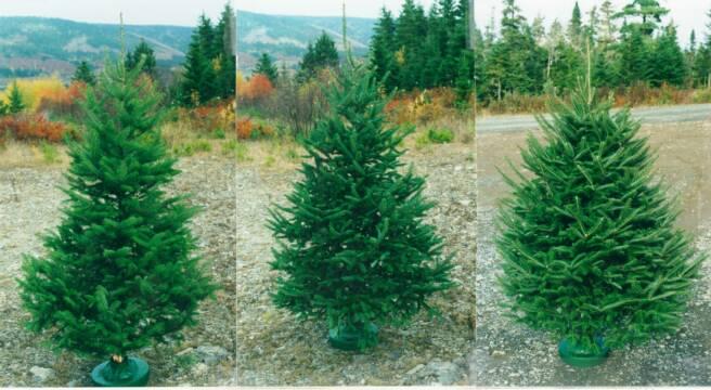 Varieties Of Christmas Trees