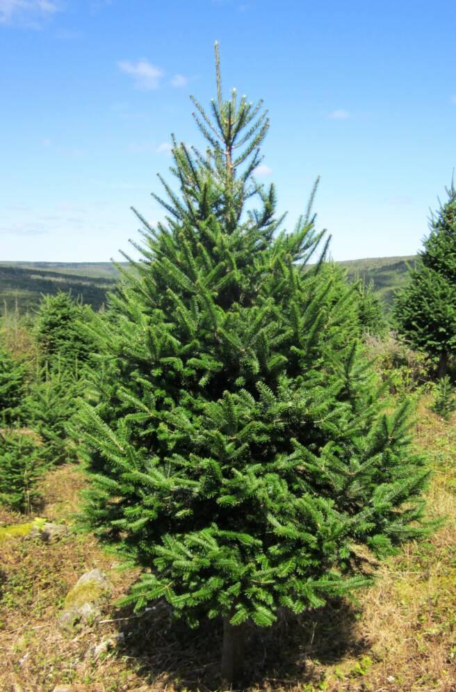 Christmas Tree Natural